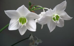 Эухарис цветение