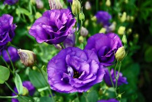 эустома цветение