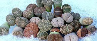 Литопс, живой камень - выращивание и уход в домашних условиях, фото видов