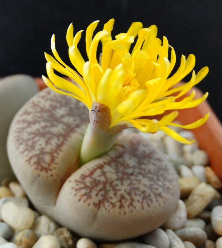 Литопс Бромфилда (лат. Lithops bromfieldii)