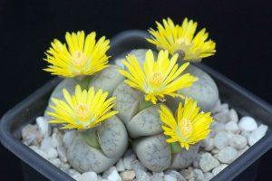Литопс цветение