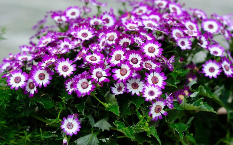 Multiflora Nana