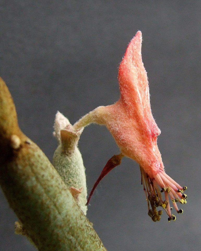 Педилантус крупноплодный или Макрокарпус (Macrocarpus)