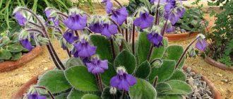 Петрокосмея - выращивание и уход в домашних условиях, фото видов