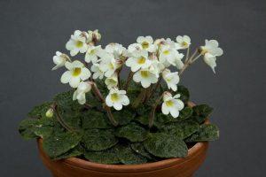 Петрокосмея цветение