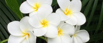 Плюмерия - выращивание и уход в домашних условиях, фото видов