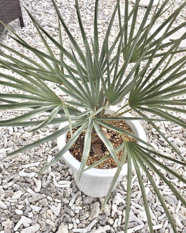Полезные свойства пальмы хамеропс