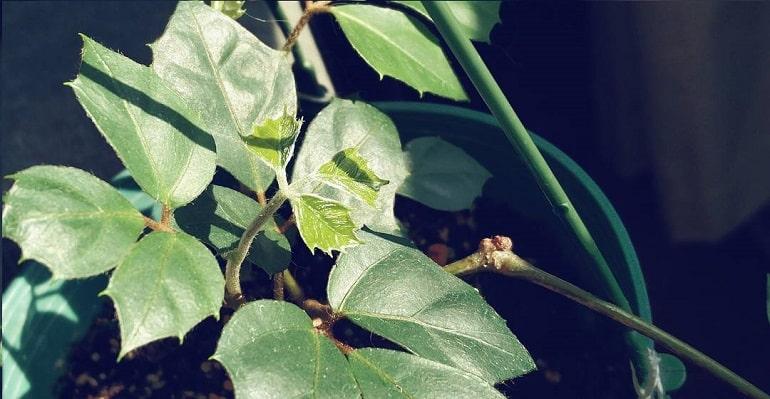 Комнатные растения березка сохнут листья
