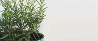 Розмарин - выращивание и уход в домашних условиях, фото видов