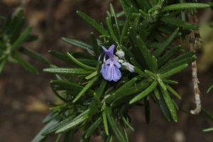 Розмарин цветение