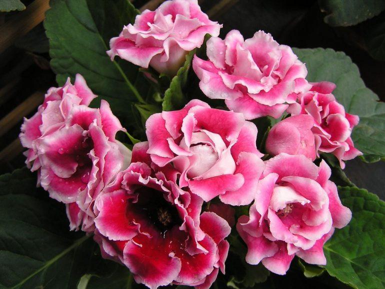 Розовые глоксинии