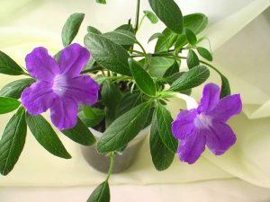 Руэллия цветение