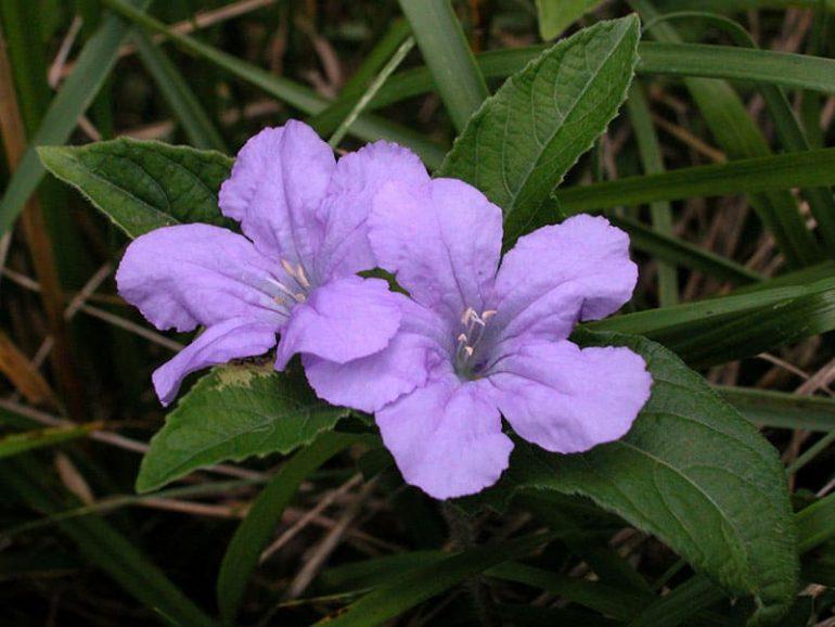 Руэллия каролинская (лат. Ruellia caroliniensis)