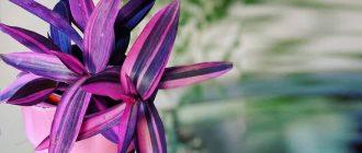 Сеткреазия пурпурная - уход в домашних условиях, фото видов