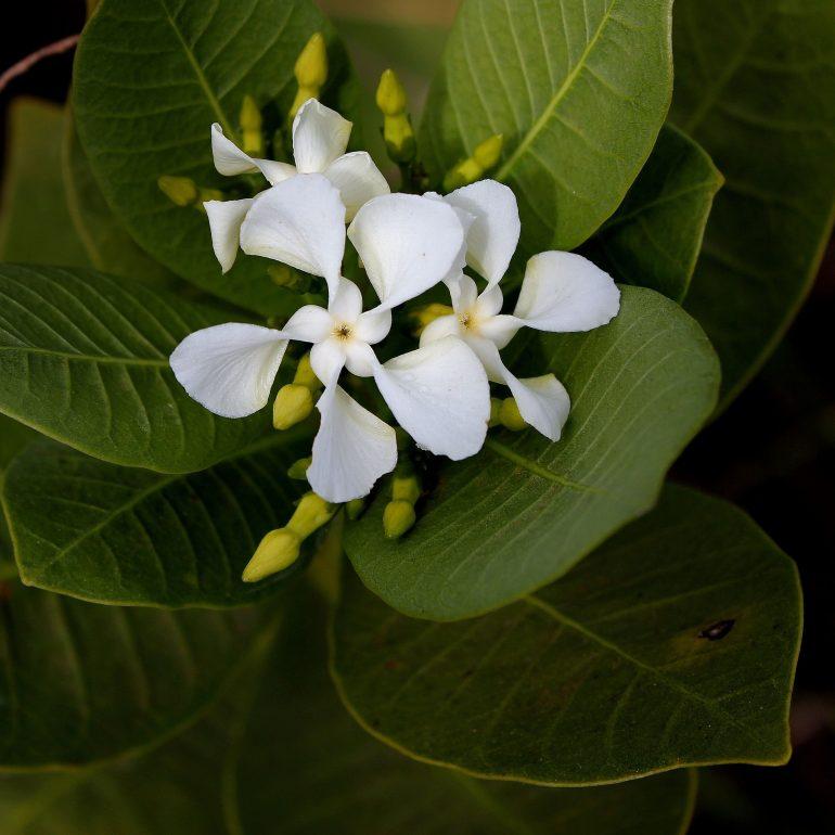 Табернемонтана Хольста (лат. Tabernaemontana holstii)