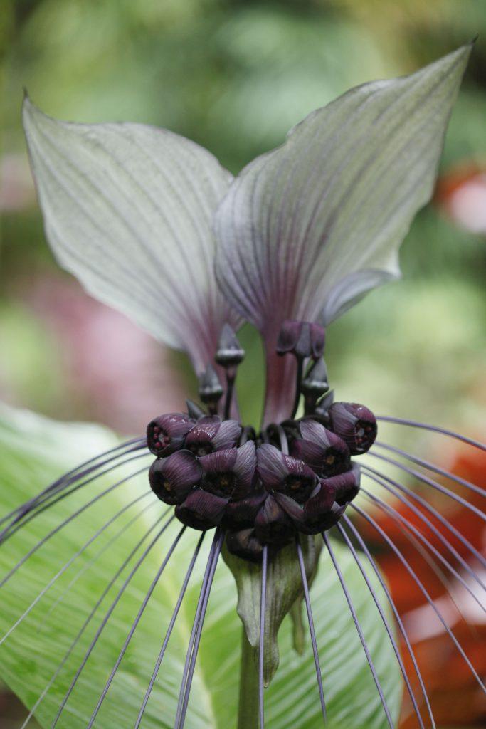 Такка цельнолистная либо Белая летучая мышь (Tacca integrifolia)