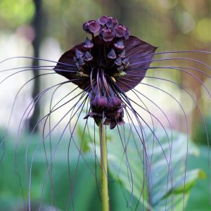 Такка цветение