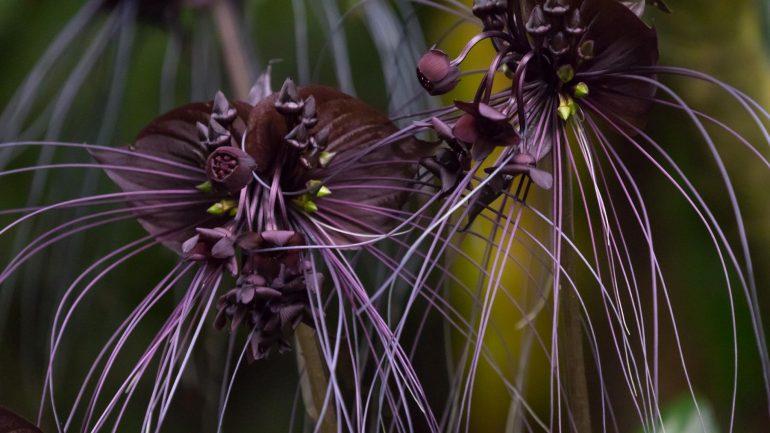 Такка Шантрье либо Черная летучая мышь (Tacca chantrieri)