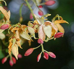 Тамаринд цветение