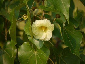 теспезия цветение