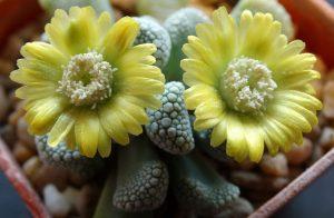 Титанопсис цветение