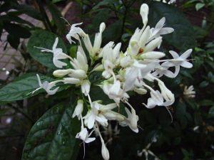 Уайтфельдия цветение