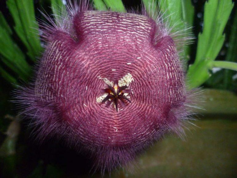 Волосистая, S. hirsuta
